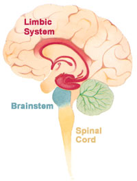 Click to learn more about the brains limbic system!